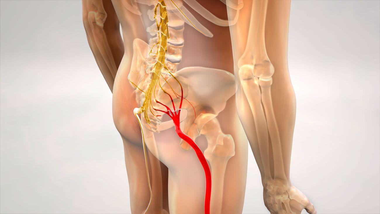Le nerf sciatique est formé des racines nerveuses qui sortent dans la partie la plus basse de la colonne vertébrale.